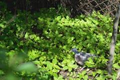 Tourterelle se reposant sur l'herbe photographie stock libre de droits