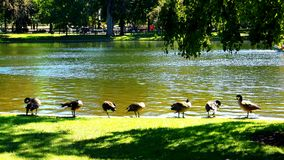 Tous les canards dans une rangée Photos stock