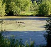 Tous les canards dans une rangée Photo libre de droits