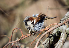 The tousled sparrow Stock Photography