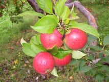 Tout au sujet des pommes Image libre de droits