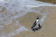Tout fichu Le pingouin africain émerge du ressac, Afrique du Sud Photo stock