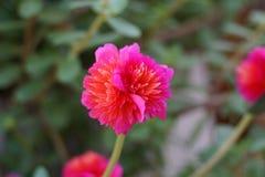 Tout le Gomphrena d'arrière-cour de saison, jardin de fleurs annuel photo libre de droits