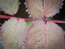 Toute l'eau de pluie de cercle se laisse tomber sur la feuille Rose Photos stock