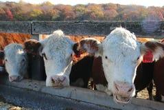 Toutes les vaches posaient pour cette photo Image libre de droits