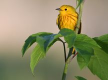 Toutinegra amarela na filial de árvore Imagem de Stock