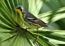 toutinegra Amarelo-throated Imagens de Stock Royalty Free