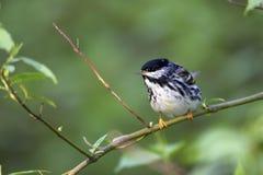 Toutinegra de Blackpoll (striata do Dendroica) Fotos de Stock Royalty Free