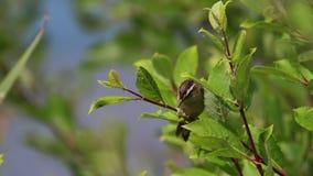 Toutinegra de carriço, schoenobaenus do Acrocephalus, cantando em um arbusto em um dia ensolarado, scotland, julho, tarde video estoque