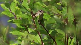 Toutinegra de carriço, schoenobaenus do Acrocephalus, cantando em um arbusto em um dia ensolarado, scotland, julho, tarde vídeos de arquivo