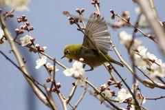 Toutinegra na flor da mola Foto de Stock Royalty Free