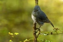 Toutouwai australis de Petroica - petirrojo de la isla del sur - - pájaro endémico del bosque de Nueva Zelanda Imagen de archivo