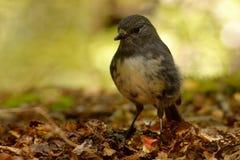 Toutouwai australis de Petroica - petirrojo de la isla del sur - - pájaro endémico del bosque de Nueva Zelanda que se sienta en l Fotos de archivo