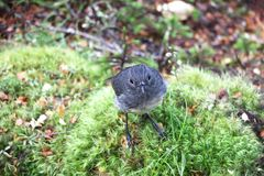 Toutouwai bird in New Zealand sitting on branch. Petroica australis - South Island Robin - toutouwai - endemic New Zealand forest bird sitting on the branch in royalty free stock photo