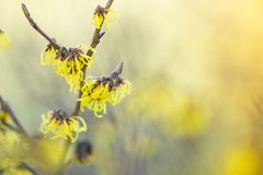 Toverhazelaar, Witch-hazel, Hamamelis × intermedia stock photos