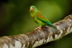 Tovi orange-chinned parakeet, Brotogeris jugularis, portrait of light green parrot with red head, Costa Rica. Wildlife scene from royalty free stock images