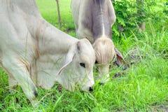 Tow Brahman tjurar som äter gräs på sidan av en landsväg royaltyfri bild
