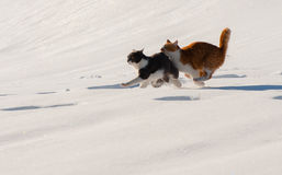 Tow cats run snow fast. Village Spring March Royalty Free Stock Photo