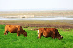 Tow cattle Stock Photography