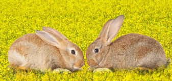 Tow cute rabbits in love Royalty Free Stock Images
