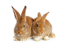Tow cute rabbits sitting Royalty Free Stock Photos