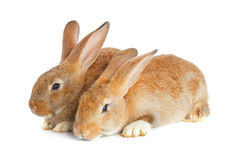 Tow cute rabbits sitting Royalty Free Stock Photos