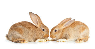 Tow cute rabbits sitting Stock Photo