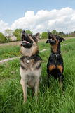 Tow dogs training outside Stock Image