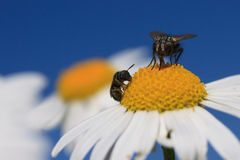 Tow Flies. Two flies harvesting pollen from a daisy against a blue sky Royalty Free Stock Photography