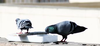 Tow gray indian pigeon one is drinking water in a pot stock photography