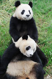 Tow  lovely pandas Royalty Free Stock Image