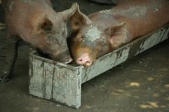Tow piglets. Two piglets having fun, one of them in a trough Stock Photo