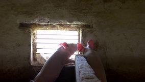 Tow pigs near a window. stock footage