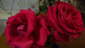 Tow pink roses. Two pink big roses. Big pink flowers. Beautiful red flowers stock footage