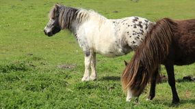 Tow Pony Graze And Relax On Pasture stock photography