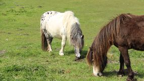 Tow Pony Horses Graze And Relax auf grünem Feld lizenzfreie stockfotos