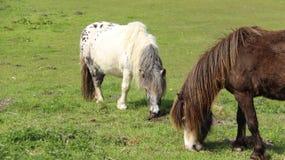 Tow Pony Horses Graze And Relax sul campo verde Fotografie Stock Libere da Diritti