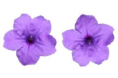 tow Purple flowers on white background royalty free stock image