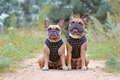 Similar looking brown French Bulldogs sitting next to eacth other wearing matching elegant black dog harnesses