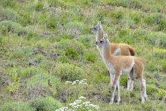 Couple of Young  Guanacos Royalty Free Stock Photo
