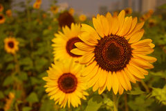 Toward the sun. Plant、flowers、sunflower、The sun、dynamic、vitality、Elegant demeanour Stock Photos