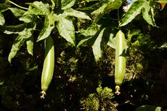 Towel gourd Stock Photography
