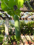 Towel gourd Royalty Free Stock Image