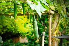 Towel gourd (Luffa acutangula) Stock Image