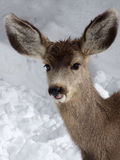Towel Please. Young fawn caught out in the wet winter snow stock photo