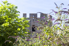 Tower of Carcassonne behind some lilac flowers. France Stock Photos