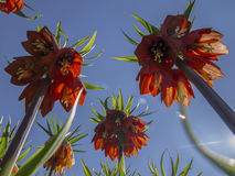 Red Kaiser's Crown in bloom, Fritillaria imperialis in spring garden. Flowers with the sky on the morning Stock Images