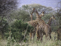Tower of Giraffes Royalty Free Stock Image