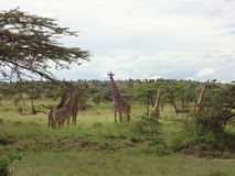 A tower of giraffes in kenya Royalty Free Stock Photo