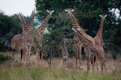 A Tower of Giraffes. Is seen in Akagera National Park, Rwanda royalty free stock photography